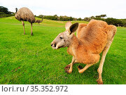 Red kangaroo (Macropus rufus) grazing in grassland, two Emu (Dromaius novaehollandiae) in background. Phillip Island, Victoria, Australia. September 2008. Captive. Стоковое фото, фотограф Enrique Lopez-Tapia / Nature Picture Library / Фотобанк Лори