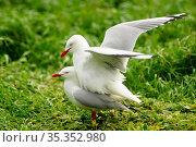 Silver gull (Chroicocephalus novaehollandiae) pair mating. Phillip Island, Victoria, Australia. September. Стоковое фото, фотограф Enrique Lopez-Tapia / Nature Picture Library / Фотобанк Лори