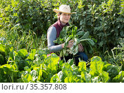 Woman harvesting giant chard. Стоковое фото, фотограф Яков Филимонов / Фотобанк Лори