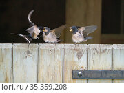 Barn Swallows (Hirundo rustica) fledglings fed by parents while perched on barn door, Briston, North Norfolk, September. Стоковое фото, фотограф David Tipling / Nature Picture Library / Фотобанк Лори