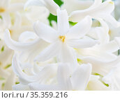 Цветы. Белый гиацинт. Фон. Стоковое фото, фотограф E. O. / Фотобанк Лори
