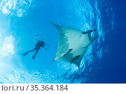 Scuba diver photographing Sicklefin manta (Mobula tarapacana) Ambrosio dive site, Santa Maria Island, Azores, Portugal, Atlantic Ocean. Стоковое фото, фотограф Franco Banfi / Nature Picture Library / Фотобанк Лори