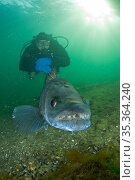 Scuba diver with male Zander or Pikeperch (Stizostedion / Sander lucioperca). Lake di Lugano or Ceresio, Ticino, Switzerland. Стоковое фото, фотограф Franco Banfi / Nature Picture Library / Фотобанк Лори