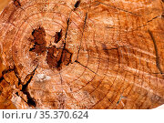 Cut tree trunk with rings visible. Стоковое фото, фотограф Zoonar.com/Francesco Rossetti / easy Fotostock / Фотобанк Лори