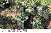 Bundles of freshly picked chard in plastic container standing on field at farm, people harvesting on background. Стоковое видео, видеограф Яков Филимонов / Фотобанк Лори