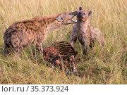 Spotted Hyena (Crocuta crocuta) interaction over carcass, Masai Mara, Kenya. Стоковое фото, фотограф Hermann Brehm / Nature Picture Library / Фотобанк Лори