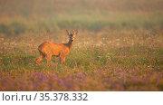 Roe deer, capreolus capreolus, buck looking into camera on blooming... Стоковое фото, фотограф Zoonar.com/Jakub Mrocek / easy Fotostock / Фотобанк Лори