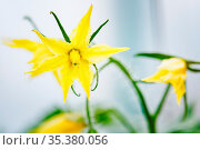 Inflorescence of tomatoes on a branch in a greenhouse. Стоковое фото, фотограф Zoonar.com/Evgeny Zinoviev / easy Fotostock / Фотобанк Лори