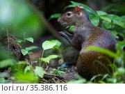Central American agouti (Dasyprocta punctata) feeding. Osa Peninsula, Costa Rica. Стоковое фото, фотограф Cyril Ruoso / Nature Picture Library / Фотобанк Лори