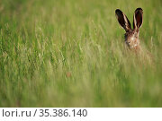 European hare (Lepus europaeus) in grassland, head visible above grass. Yonne, France. June. Стоковое фото, фотограф Cyril Ruoso / Nature Picture Library / Фотобанк Лори