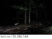 Field mouse (Apodemus sp) running along fallen tree trunk with food in mouth at night. Burgundy, France. September. Стоковое фото, фотограф Cyril Ruoso / Nature Picture Library / Фотобанк Лори