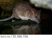 Brown rat (Rattus norvegicus) drinking from River Yonne, reflected in water. Sens, France. September. Стоковое фото, фотограф Cyril Ruoso / Nature Picture Library / Фотобанк Лори