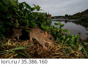 Brown rat (Rattus norvegicus), two amongst vegetation on bank of River Yonne, bridge in background. Sens, Bourgogne-Franche-Comte, France. September 2019. Стоковое фото, фотограф Cyril Ruoso / Nature Picture Library / Фотобанк Лори