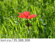 Spring Blooming Anemone (Anemone coronaria) Стоковое фото, фотограф Irina Opachevsky / Фотобанк Лори
