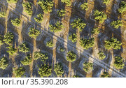 Cultivated olive trees (Olea europaea) and track. Aerial view. Drone... Стоковое фото, фотограф Thomas Dressler / age Fotostock / Фотобанк Лори