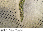 Cultivated young olive trees (Olea europaea) in the Campiña Cordobesa... Стоковое фото, фотограф Thomas Dressler / age Fotostock / Фотобанк Лори