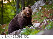 Dominant brown bear, ursus arctos standing on a rock in forest. Massive... Стоковое фото, фотограф Zoonar.com/Jakub Mrocek / easy Fotostock / Фотобанк Лори