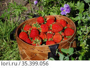 Корзина спелых ягод клубники на фоне травы и листьев. Стоковое фото, фотограф Бабкина Марина / Фотобанк Лори