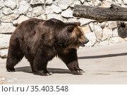 European brown bear in the zoo enclosure. Стоковое фото, фотограф Наталья Волкова / Фотобанк Лори