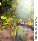 Clusters of sappy white grapes in vineyard. Стоковое фото, фотограф Яков Филимонов / Фотобанк Лори