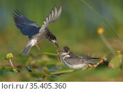 Black tern (Chlidonias nigra) flying in to feed its chick on tfloating vegetation in the Nemunas Delta Nature Reserve, Lithuania. Стоковое фото, фотограф Staffan Widstrand / Nature Picture Library / Фотобанк Лори
