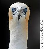Gannet (Morus bassanus) Shetland, England, UK. July. Стоковое фото, фотограф Markus Varesvuo / Nature Picture Library / Фотобанк Лори