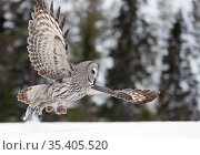 Great Grey Owl (Strix nebulosa) taking off from snow, Kuhmo Finland, March. Стоковое фото, фотограф Markus Varesvuo / Nature Picture Library / Фотобанк Лори