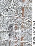 Great Grey Owl (Strix nebulosa) Kuhmo Finland, March. Стоковое фото, фотограф Markus Varesvuo / Nature Picture Library / Фотобанк Лори