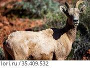 Big horn sheep roam the beautiful rock formations in the Nevada desert... Стоковое фото, фотограф Zoonar.com/Walter G Arce Sr Grindstone Media Group / easy Fotostock / Фотобанк Лори