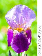 Цветок фиолетового ириса бородатого (Iris barbatus) Стоковое фото, фотограф Наталия Шевченко / Фотобанк Лори