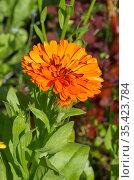 Цветущая оранжевая махровая календула, или ноготки (лат. Calendula officinalis) в летнем саду. Стоковое фото, фотограф Елена Коромыслова / Фотобанк Лори