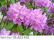 Соцветия розового рододендрона (Rhododendron L.). Крупный план. Стоковое фото, фотограф Ирина Борсученко / Фотобанк Лори