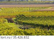 Autumn vineyard near Langenlois, Lower Austria, Austria. Стоковое фото, фотограф Richard Semik / easy Fotostock / Фотобанк Лори