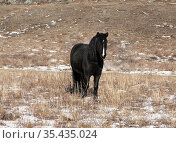 A lone black horse in the winter steppe. Close-up. Стоковое фото, фотограф Наталья Волкова / Фотобанк Лори