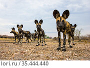 African wild dogs (Lycaon pictus) investigating remote camera, South Luangwa National Park, Zambia. Стоковое фото, фотограф Will Burrard-Lucas / Nature Picture Library / Фотобанк Лори