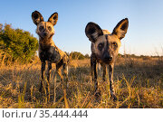African wild dogs (Lycaon pictus) investigating remote camera, Hwange National Park, Zambia. Стоковое фото, фотограф Will Burrard-Lucas / Nature Picture Library / Фотобанк Лори