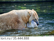 First outing in the outdoor enclosure of Kara, the female polar bear cub born in November 2020 with her mother (Ursus maritimus) Mulhouse Zoo, France. Стоковое фото, фотограф Eric Baccega / Nature Picture Library / Фотобанк Лори