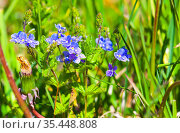 Forget Me Not flowers on a sunny summer day. Стоковое фото, фотограф EugeneSergeev / Фотобанк Лори