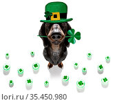 St patricks day dachshund sausage dog with lucky clover isolated on... Стоковое фото, фотограф Zoonar.com/Javier Brosch / easy Fotostock / Фотобанк Лори