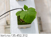 cucumber grown in a modern hydroponic greenhouse. Стоковое фото, фотограф Ольга Сейфутдинова / Фотобанк Лори