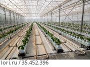 Cucumbers grown in a modern hydroponic greenhouse on a rock wool substrate. Редакционное фото, фотограф Ольга Сейфутдинова / Фотобанк Лори
