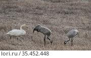 Common crane (Grus grus) pair feeding in field beside Whooper swan (Cygnus cygnus). Jyvaskyla, Finland. April. Стоковое фото, фотограф Jussi Murtosaari / Nature Picture Library / Фотобанк Лори