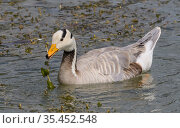 Bar-headed goose (Anser indicus) feeding, on water. Finland. July. Стоковое фото, фотограф Jussi Murtosaari / Nature Picture Library / Фотобанк Лори