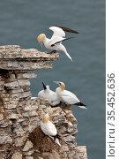 Gannet (Morus bassana) nesting colony, Bempton cliffs, Yorkshire, England, UK, july. Стоковое фото, фотограф Michel Poinsignon / Nature Picture Library / Фотобанк Лори