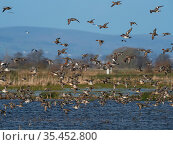 Eurasian wigeon (Anas penelope) and Common teal (Anas crecca) group in flight over a pool, Greylake RSPB reserve, near Greylake, Somerset Levels and Moors, Somerset, England, UK, February. Стоковое фото, фотограф Mike Read / Nature Picture Library / Фотобанк Лори