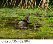 Little grebe (Tachybaptus ruficollis) amongst duckweed and leaves of Frogbit (Hydrocharis morsus-ranae) in a reedbed pool, from North Hide, Westhay Moor... Стоковое фото, фотограф Mike Read / Nature Picture Library / Фотобанк Лори
