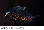 White-tailed eagle (Haliaeetus albicilla) in flight with fish in talons. Norway. October. Стоковое фото, фотограф Markus Varesvuo / Nature Picture Library / Фотобанк Лори