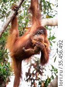 Bornean orangutan (Pongo pygmaeus) female with baby, Tanjung Puting National Park, Central Kalimantan, Borneo, Indonesia. Стоковое фото, фотограф Maxime Aliaga / Nature Picture Library / Фотобанк Лори