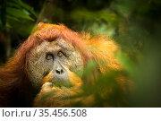 Flanged male Sumatran orangutan (Pongo abelii) male, Gunung Leuser National Park, Sumatra. Стоковое фото, фотограф Maxime Aliaga / Nature Picture Library / Фотобанк Лори
