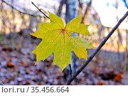 Желтый осенний кленовый лист. Стоковое фото, фотограф Илюхина Наталья / Фотобанк Лори